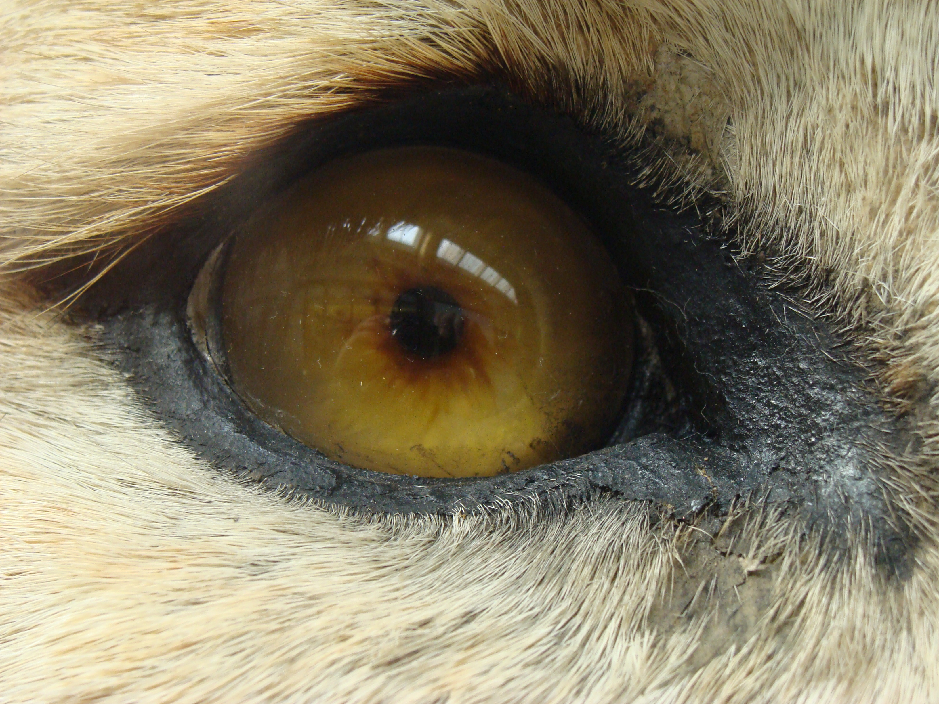 File:Panthera leo (eye).002 - Natural History Museum of London.JPG ...