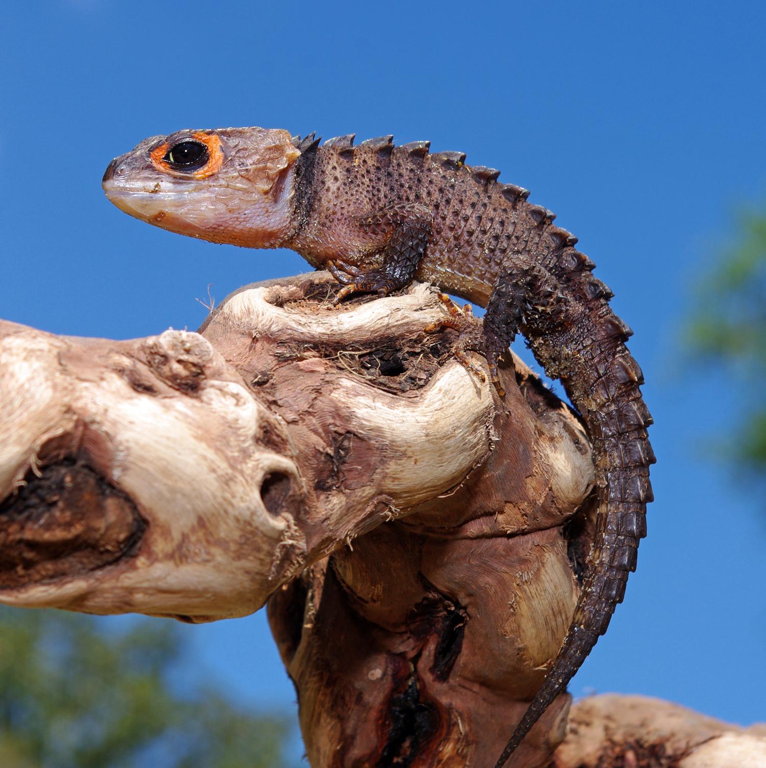 Red-eyed crocodile skink - Wikipedia