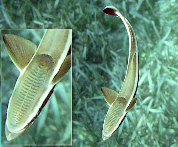 File remora belize wikimedia commons for Sucker fish food