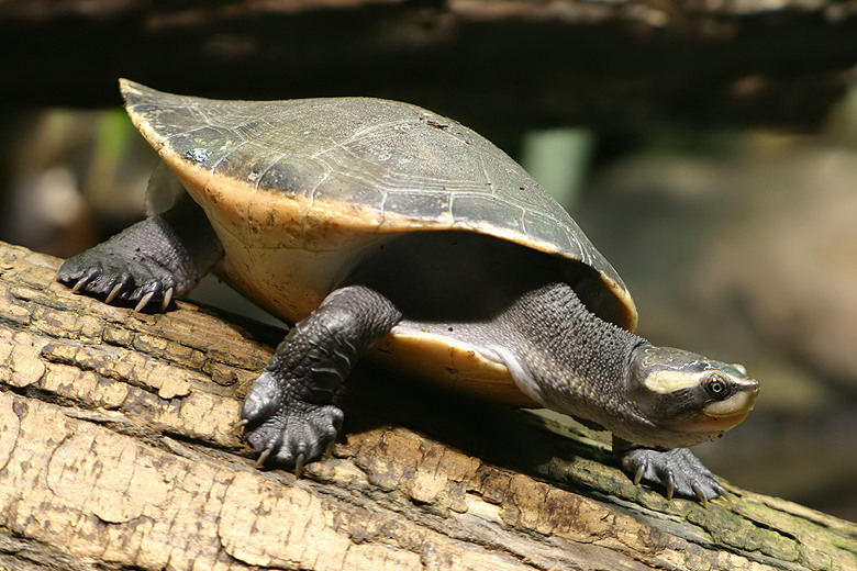 Red bellied short necked turtle wikipedia publicscrutiny Gallery