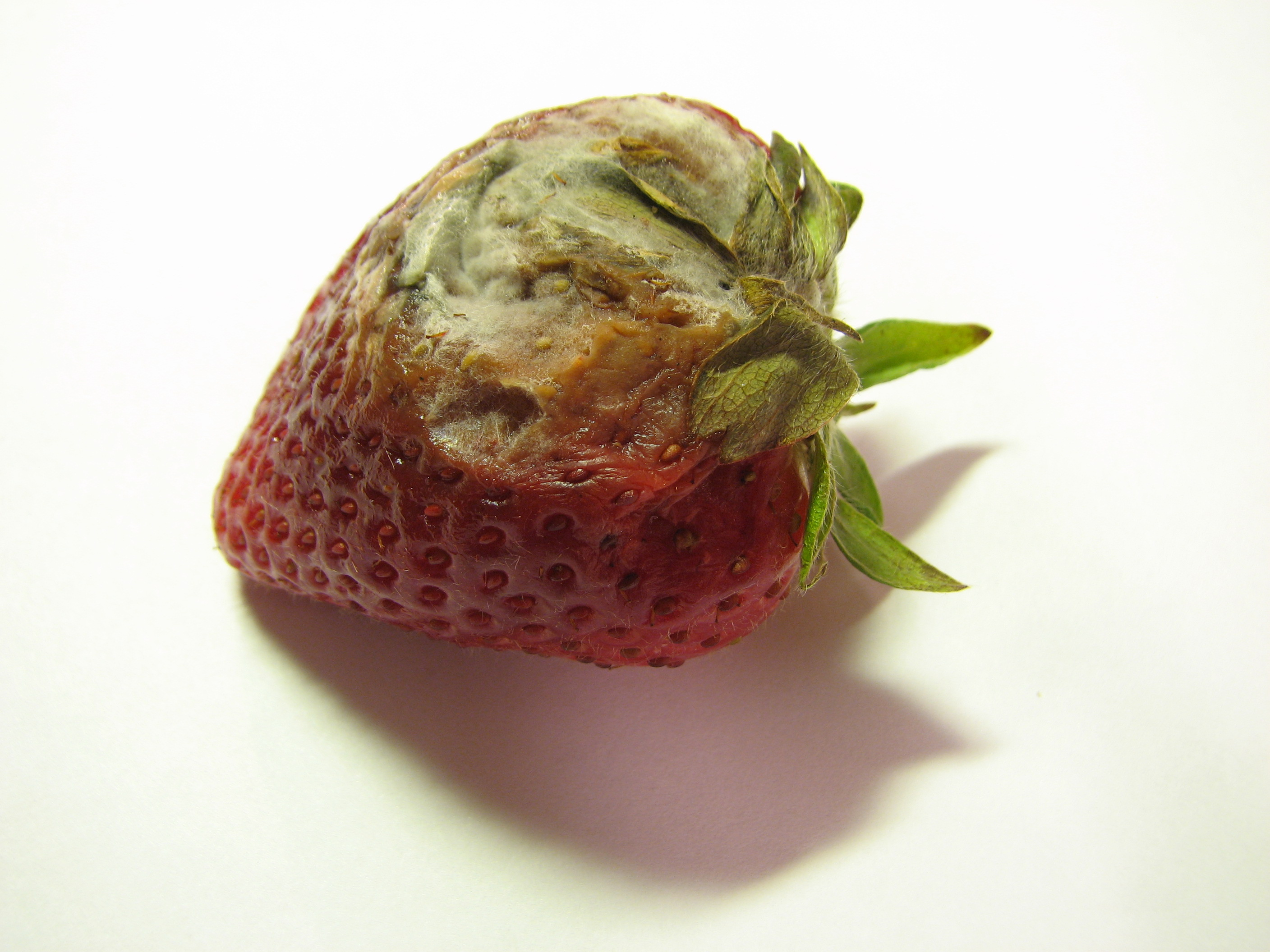 Rotten Strawberries File:Rotting strawberr...