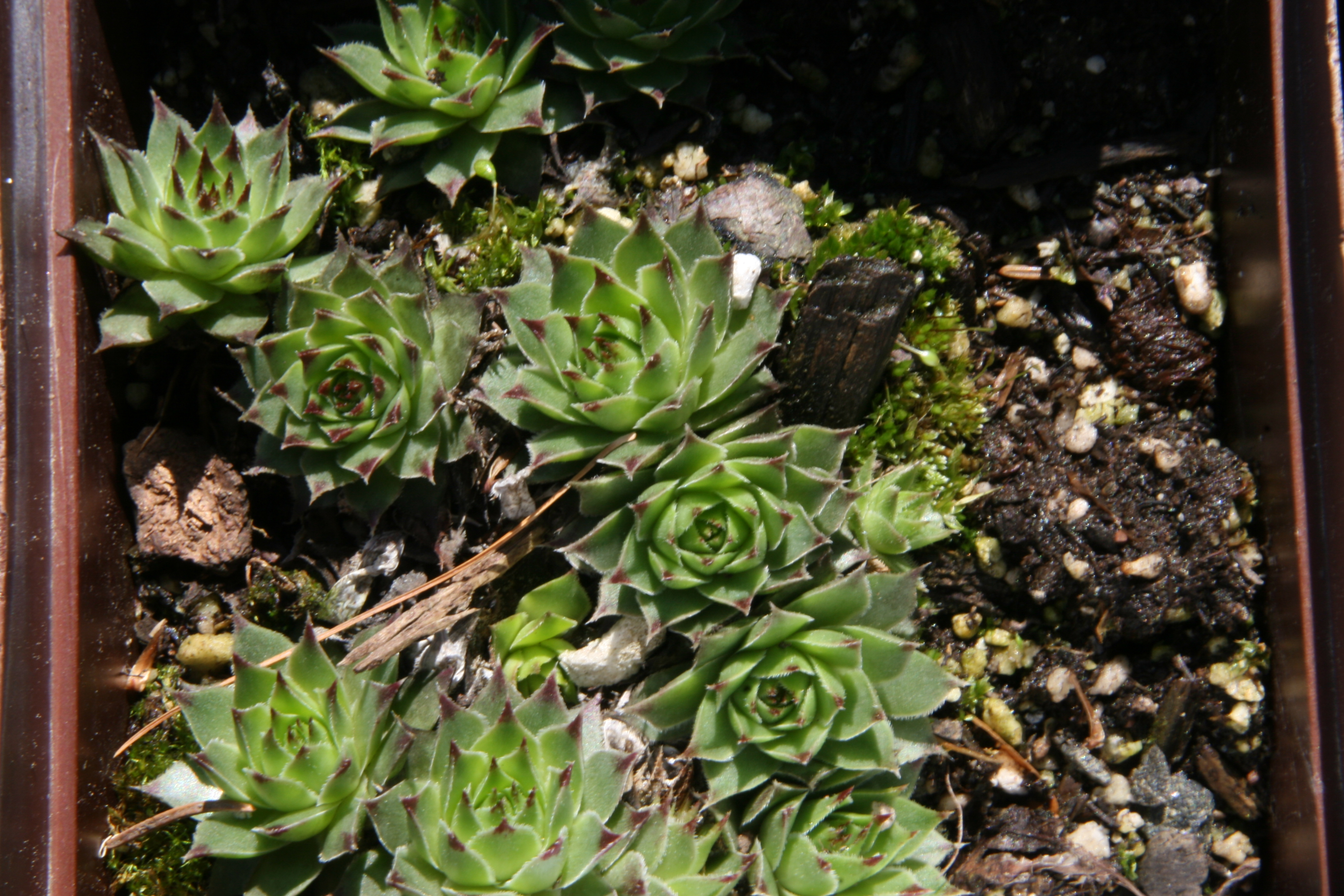Sempervivum calcareum Kalkhauswurz