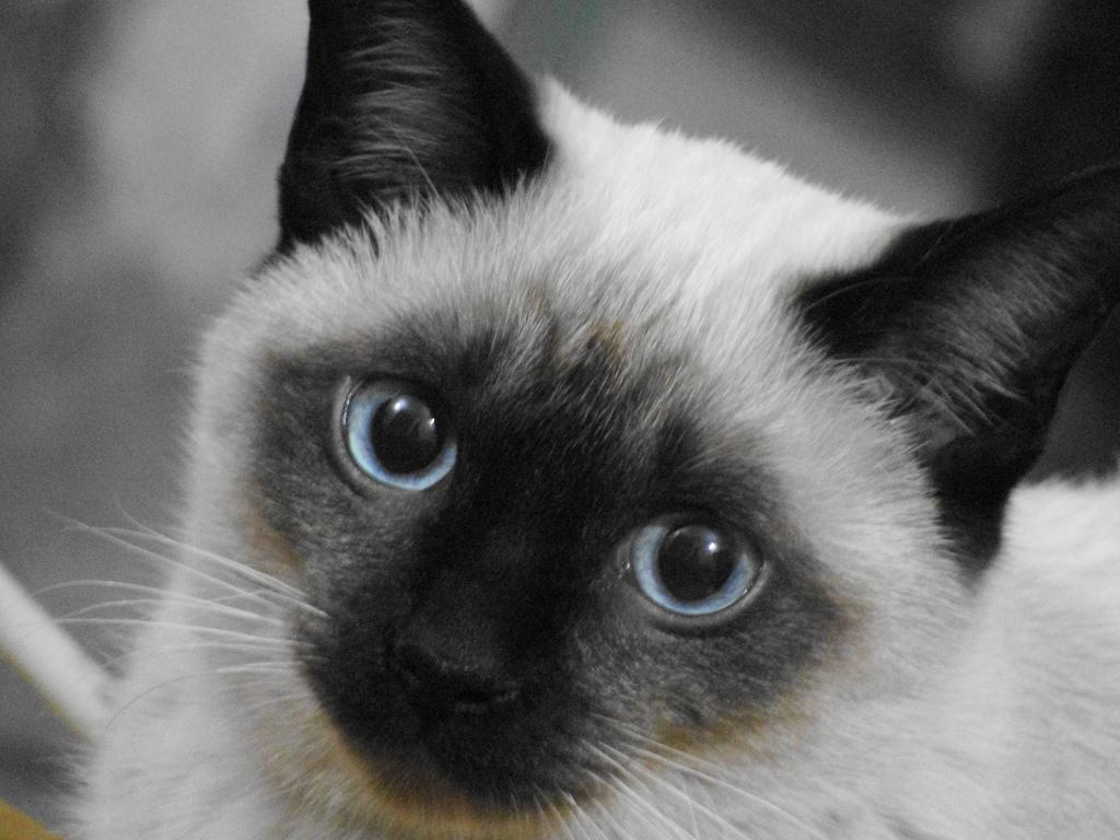 kitten formula homemade