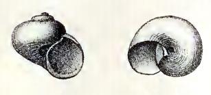 <i>Skenea rugulosa</i> species of mollusc