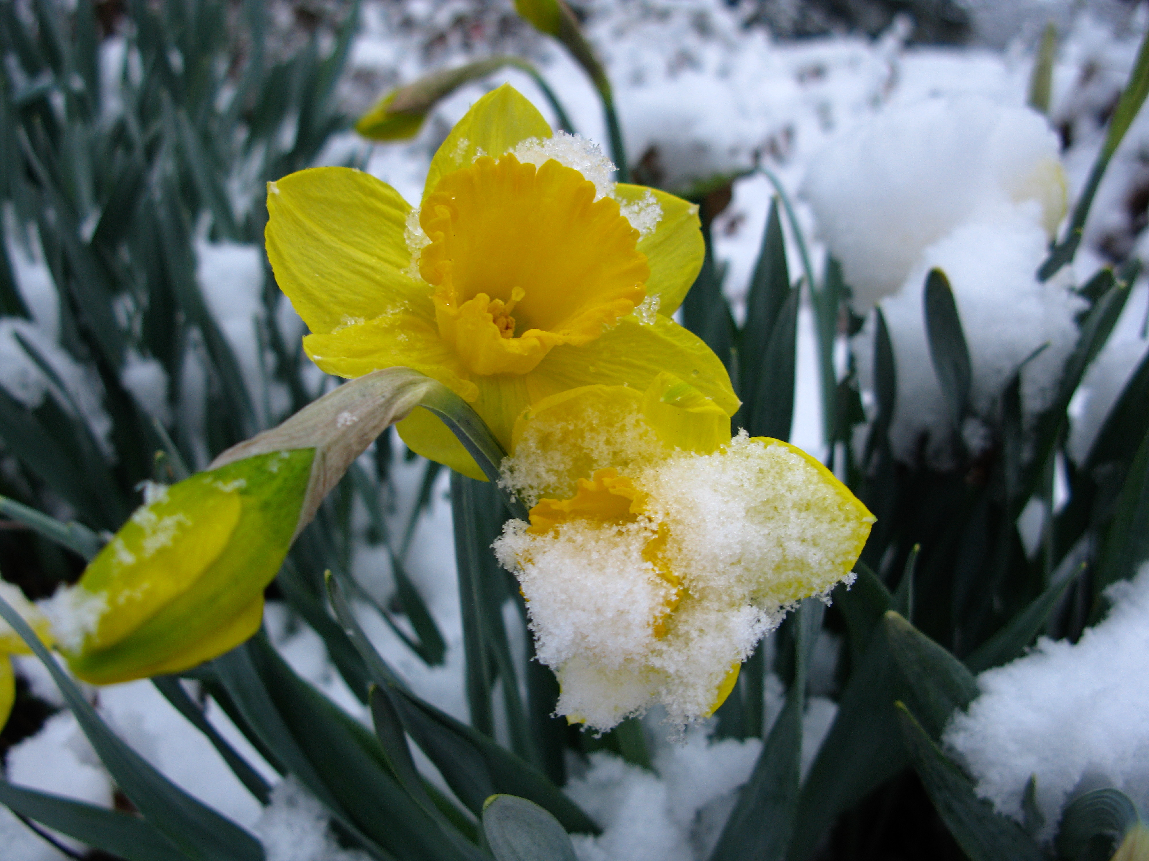 Datei Snow Daffodil Spring Flower Yellow1 West Virginia