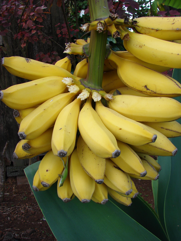 бананы сорта в картинках