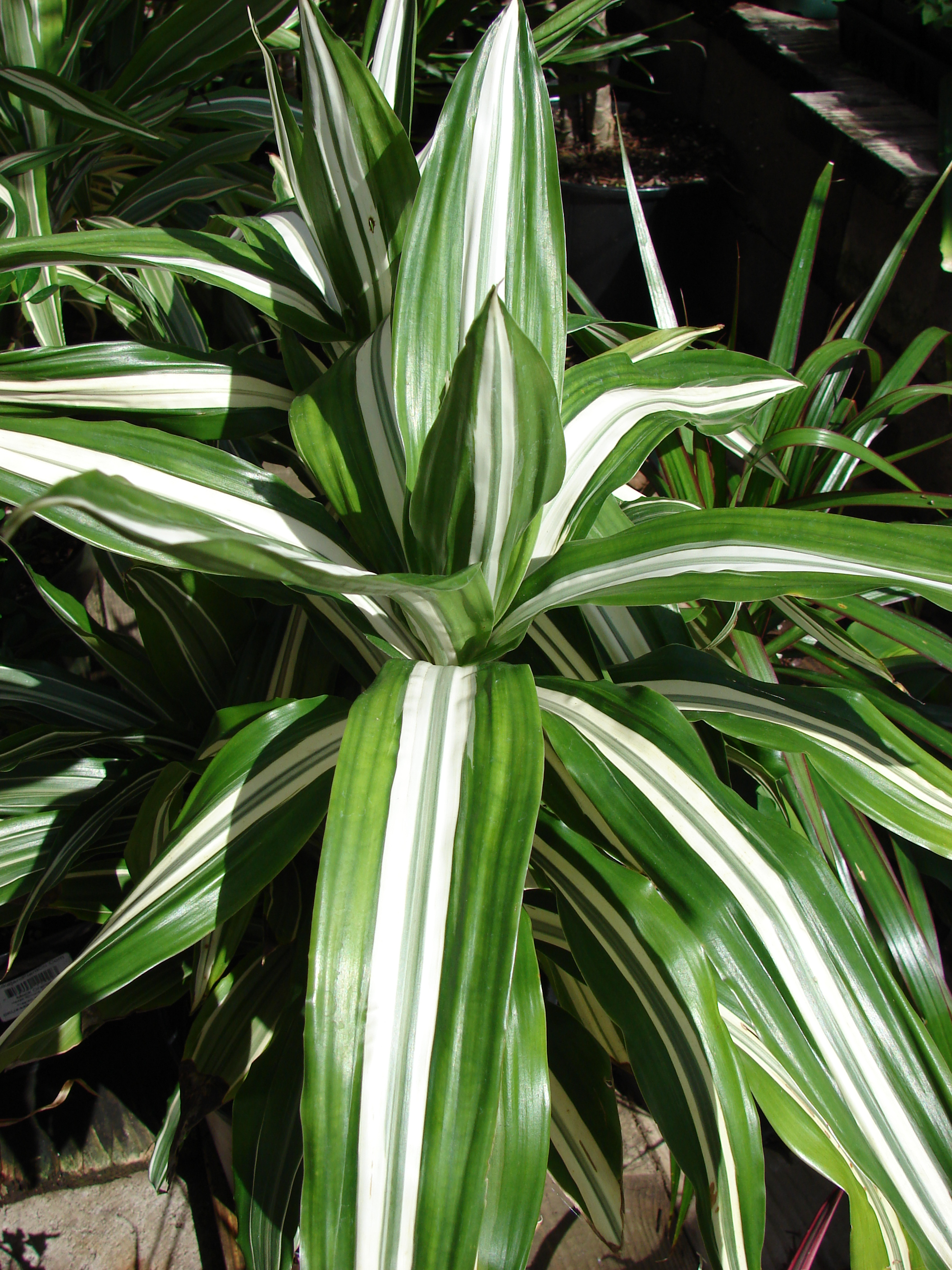 Dracaena: types, photos, titles. All about the care of the dragonza at home: tips and tricks 66