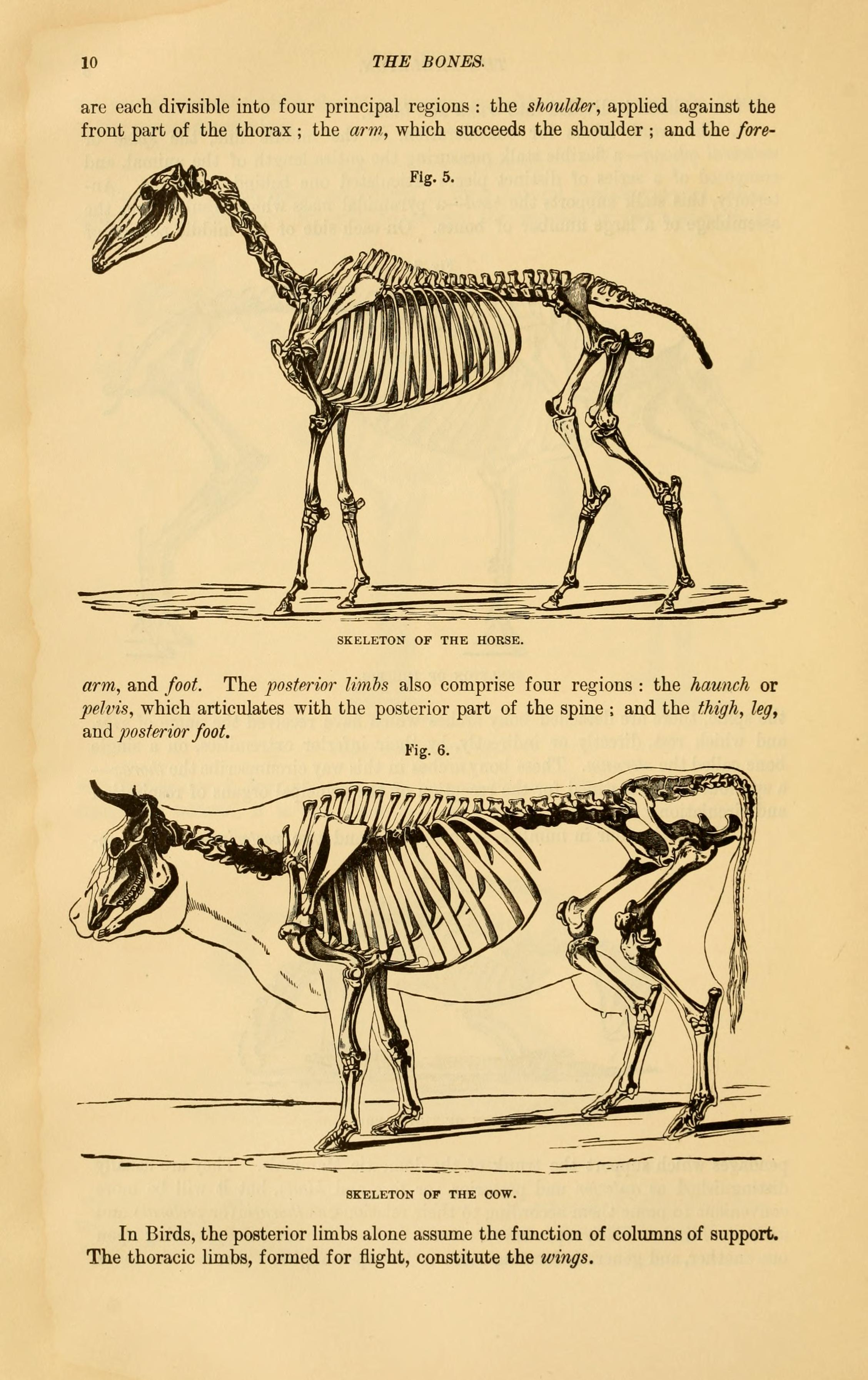 File:The comparative anatomy of the domesticated animals (Page 10 ...