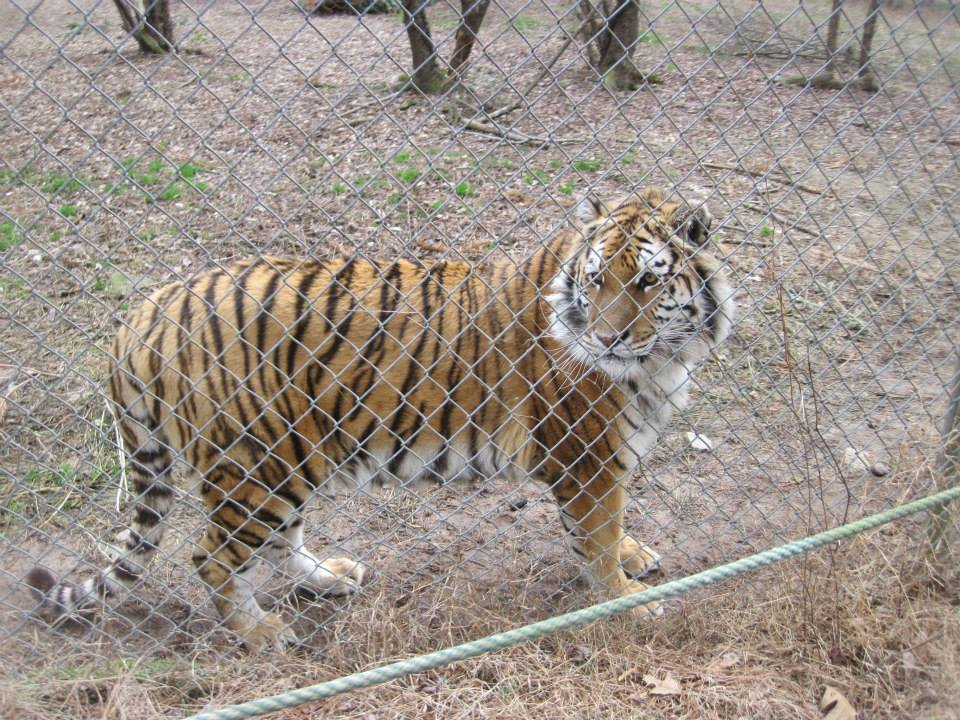Carolina Tiger Rescue - Wikipedia