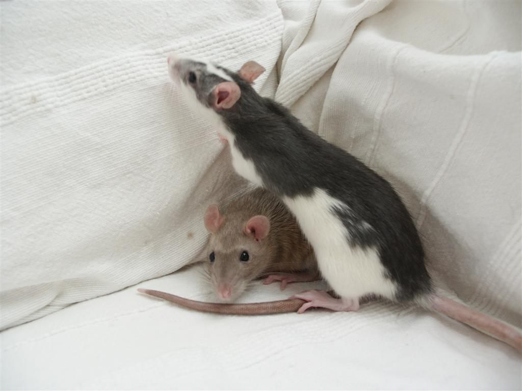 File:Two Female Pet Rats.JPG