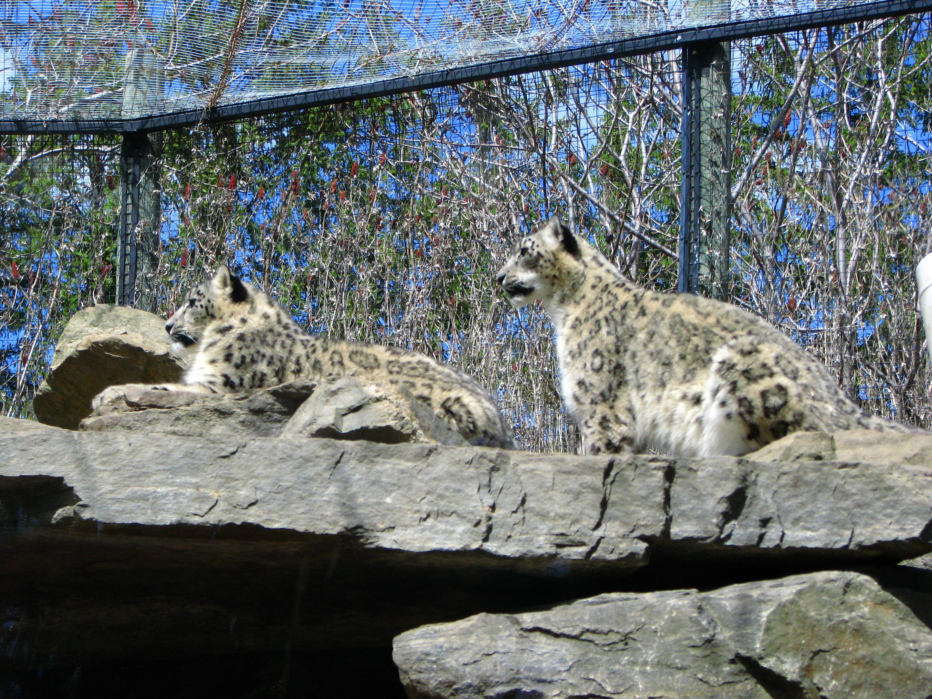 the snow leopard summary