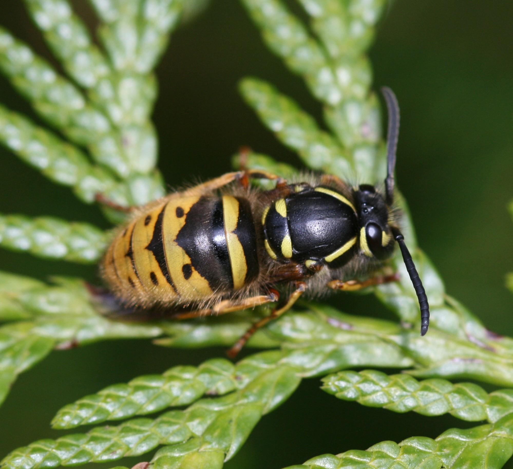 wasp queen