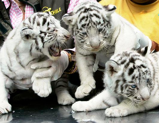 White tigers also tend...