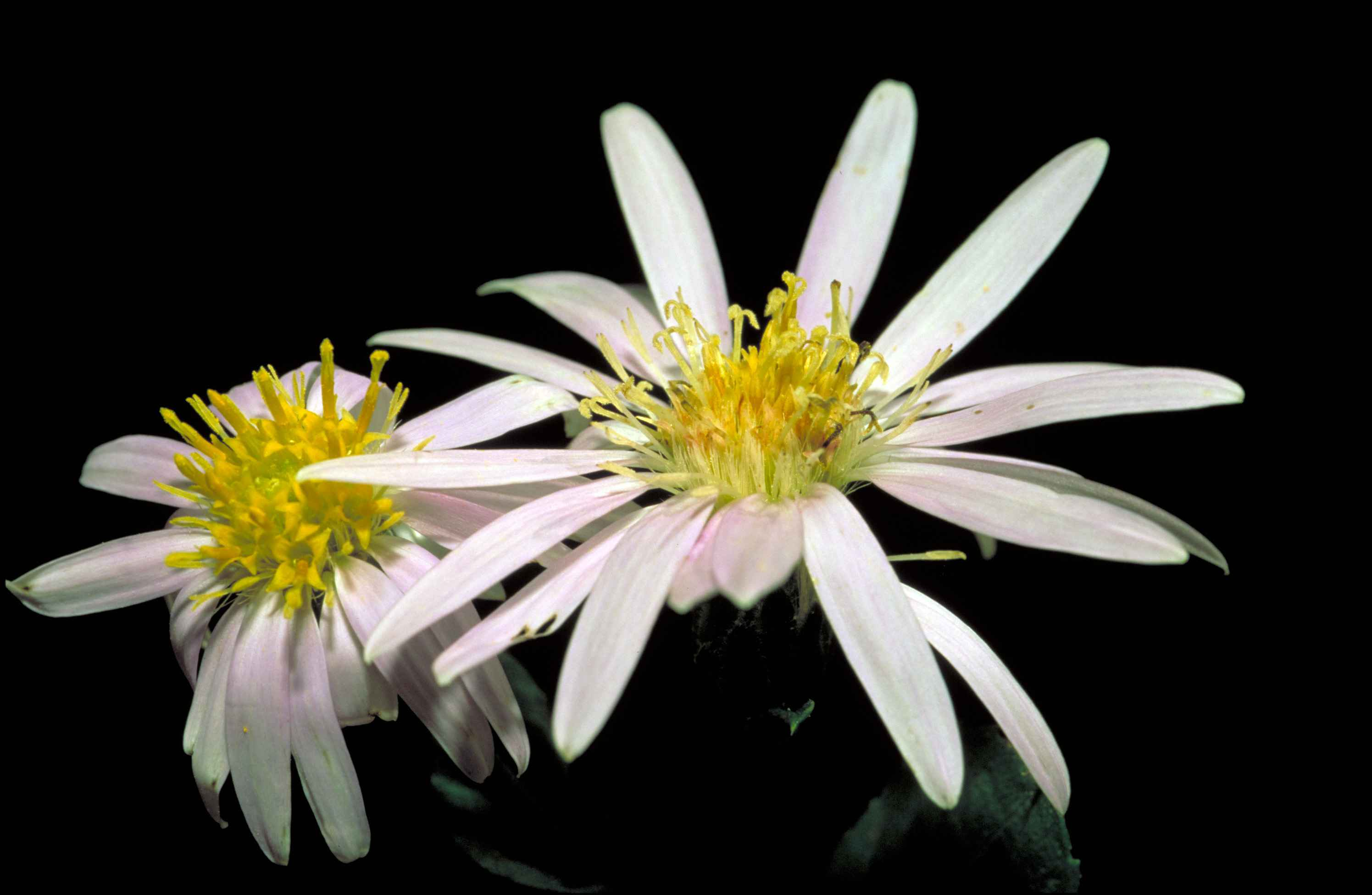 Filewhite Rockcastle Aster Flower Eurybia Saxicastellii With A