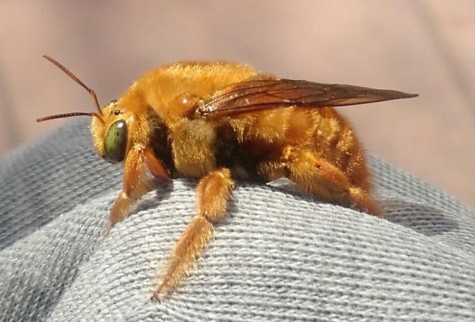 Imagen de las abejas carpinteras