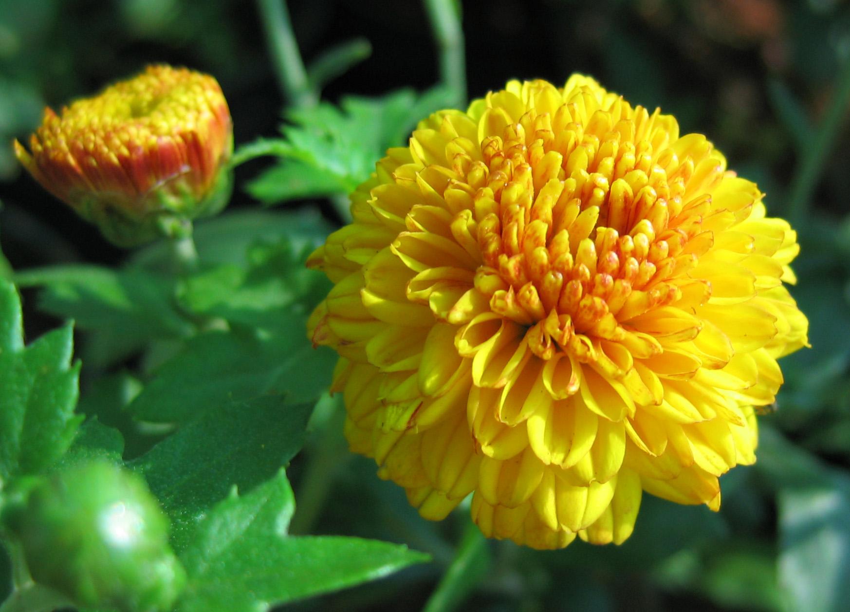 File Yellow Flowers 3 Wikimedia mons