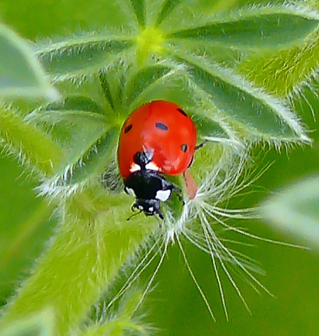 File:7-Spotted-Ladybird-Wiki-Zachi-Evenor-0119.jpg