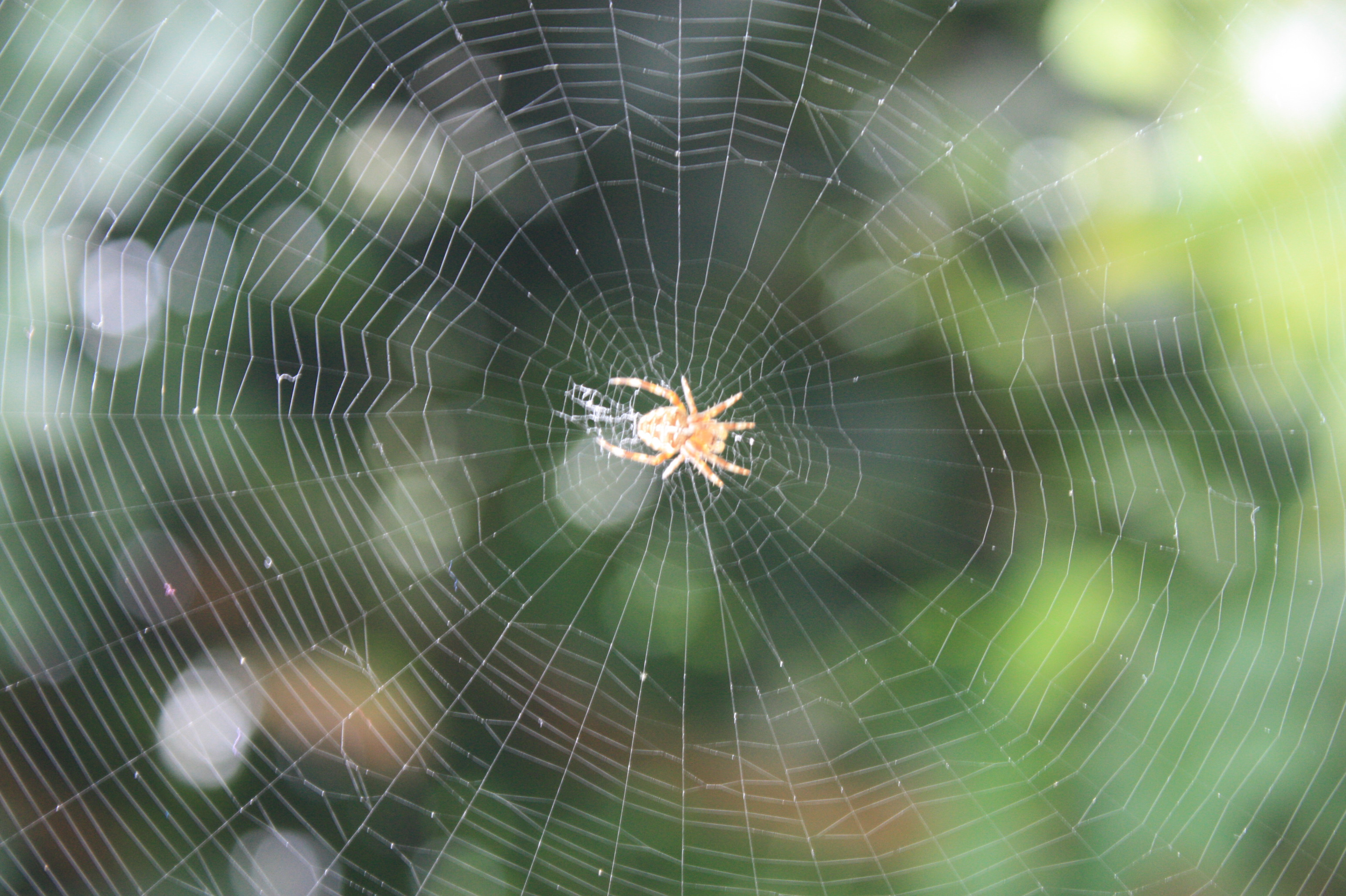 Spiders Seem To Be Getting More >> Spider Web Wikipedia