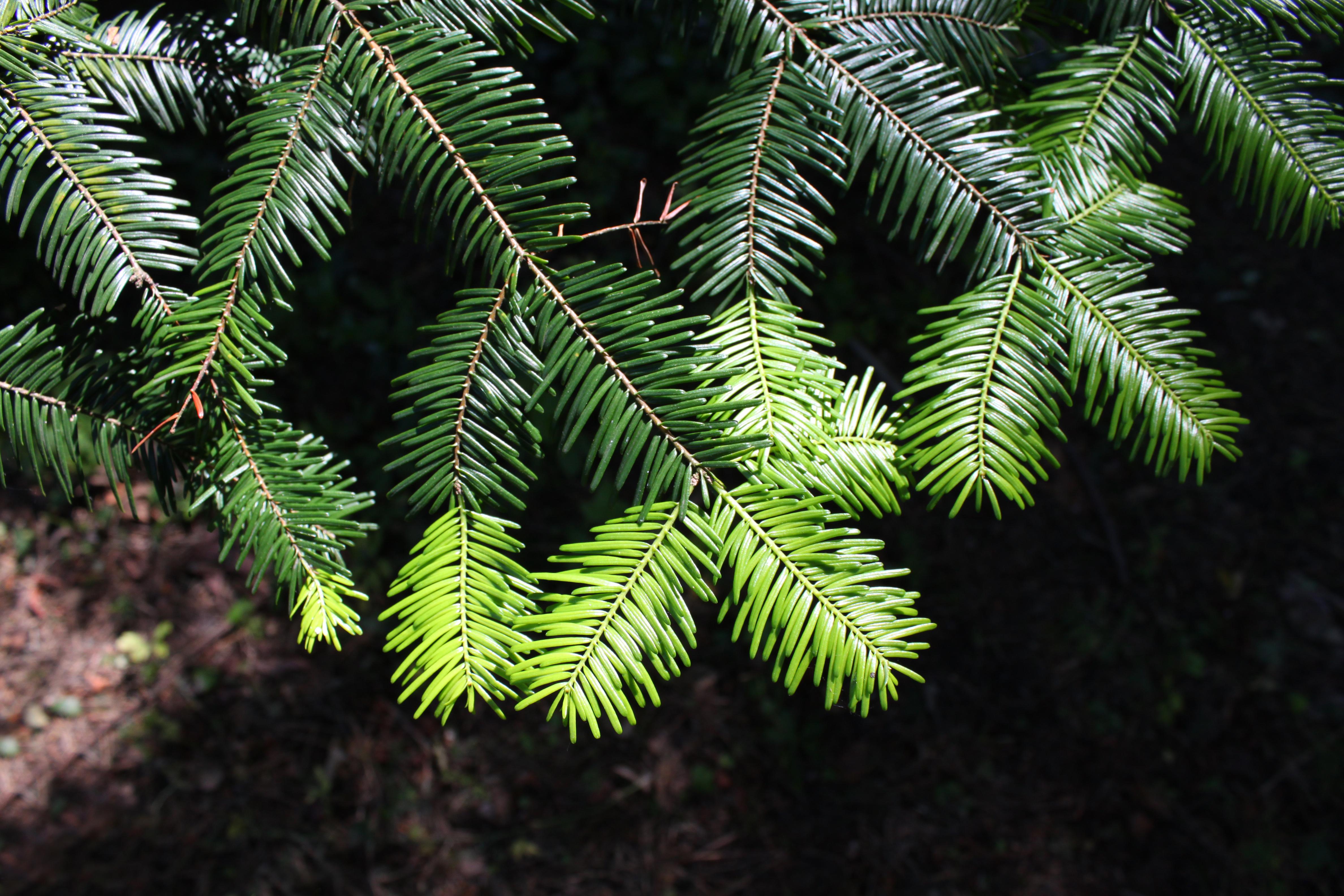 Fileabies Grandis Foliagejpg Wikimedia Commons