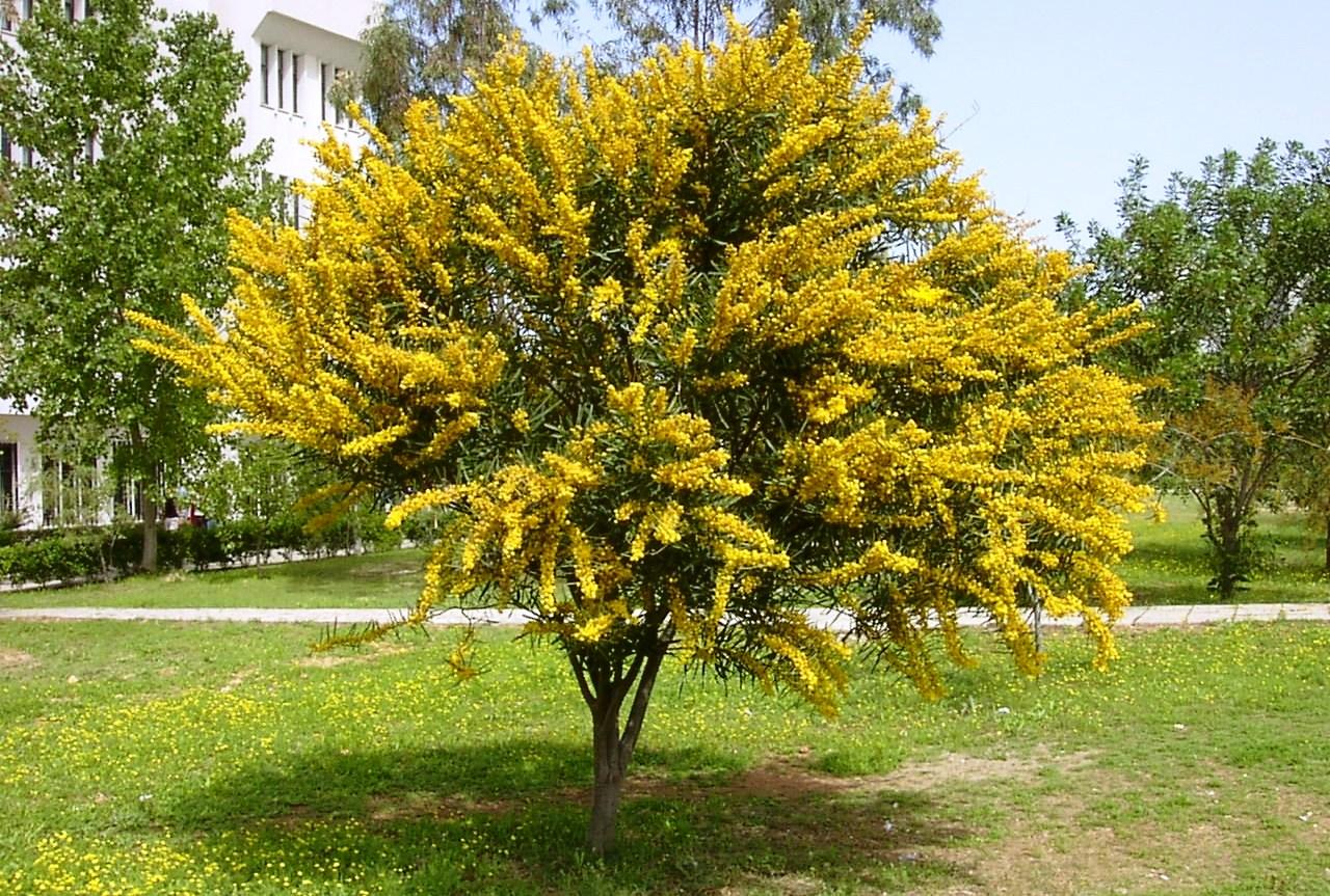Acacia locust tree wattle tree for Arboles de jardin de hoja perenne