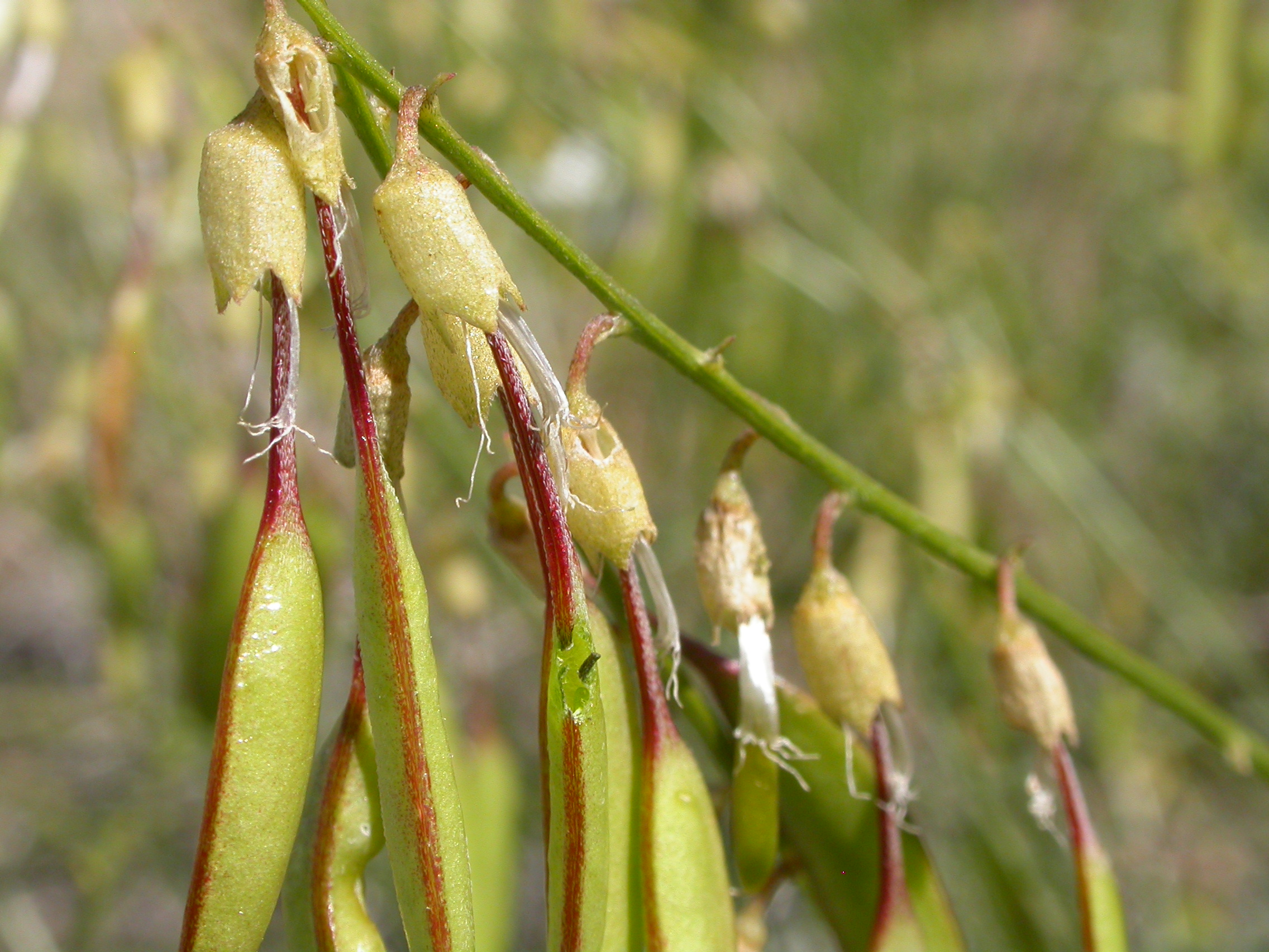 By Matt Lavin from Bozeman, Montana, USA (Astragalus filipes Uploaded by Jacopo Werther) [CC BY-SA 2.0 (http://creativecommons.org/licenses/by-sa/2.0)], via Wikimedia Commons