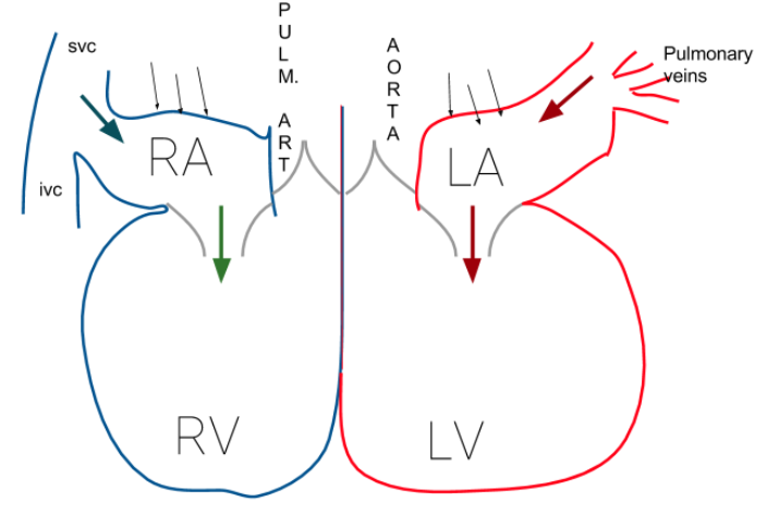 Heart schematic diagram basic guide wiring diagram file atrial contraction schematic heart diagram png wikimedia rh commons wikimedia org human heart blood flow ccuart Gallery