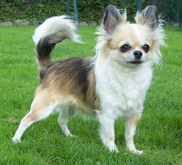 Chihuahua Dog Simple English Wikipedia The Free
