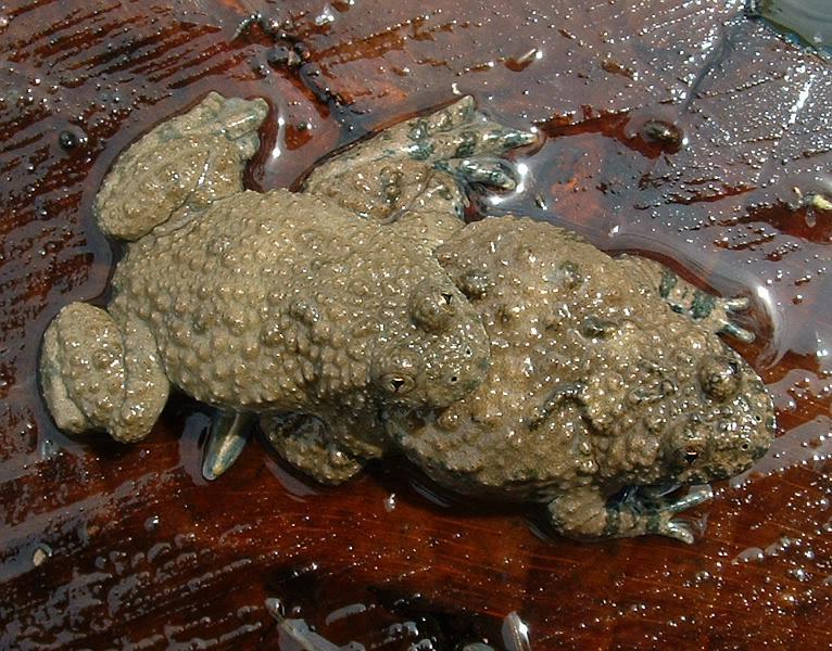 Bombinatoridae Wikipedia