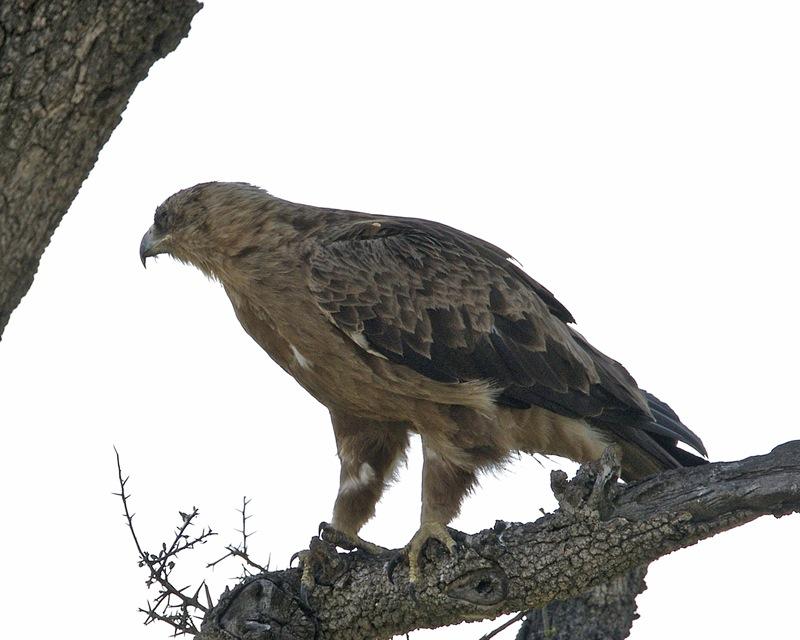 booted eagle – Wikisłownik, wolny słownik wielojęzyczny
