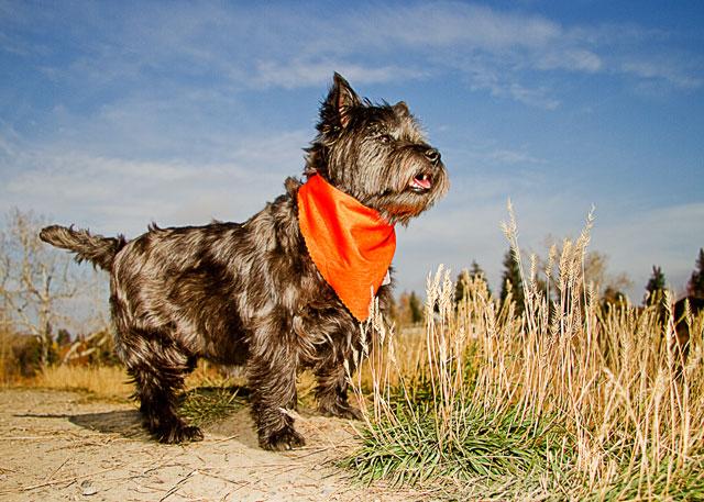 File:CairnSM01 terrier.jpg