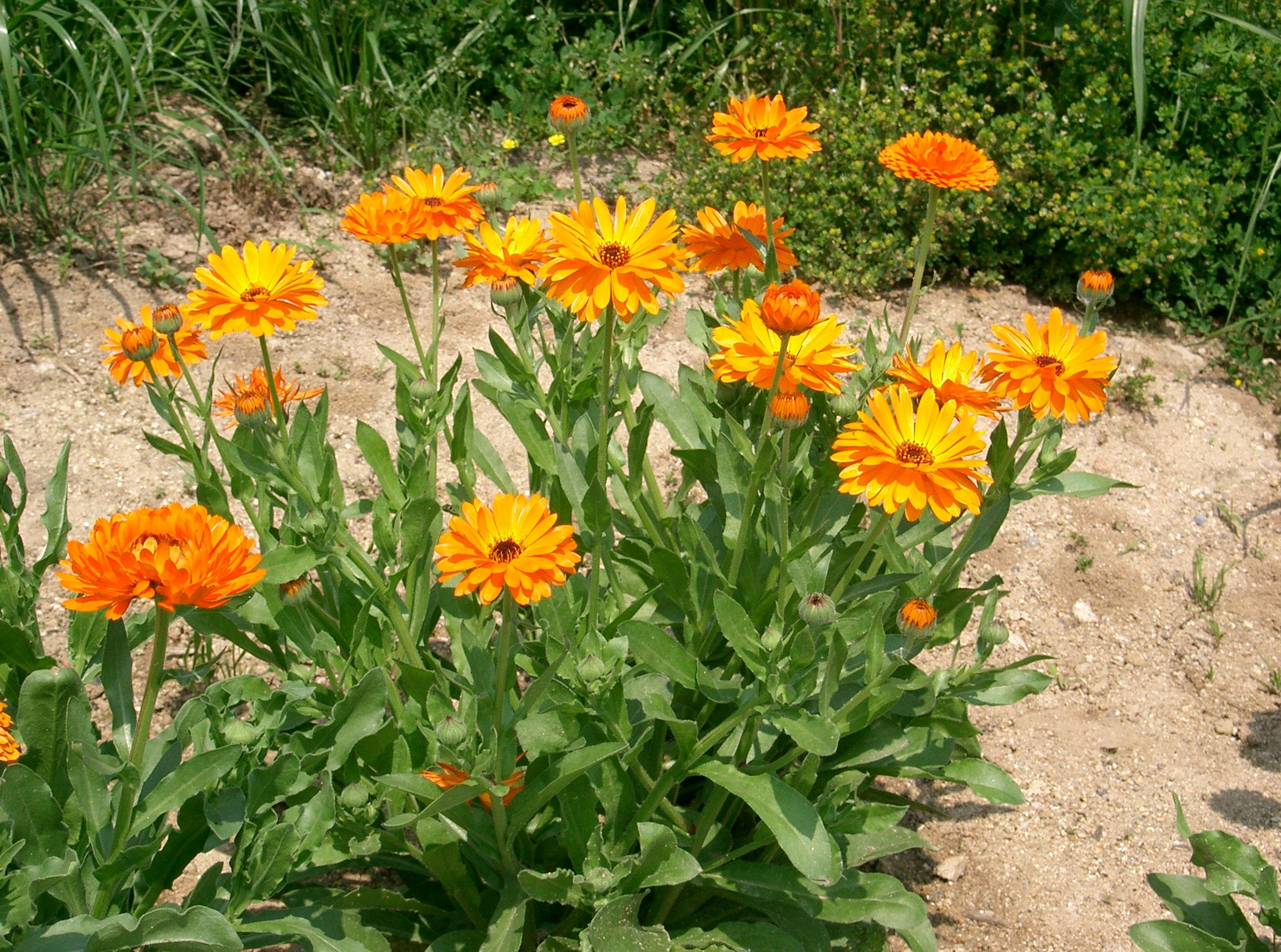 http://upload.wikimedia.org/wikipedia/commons/2/24/Calendula_officinalis3.jpg