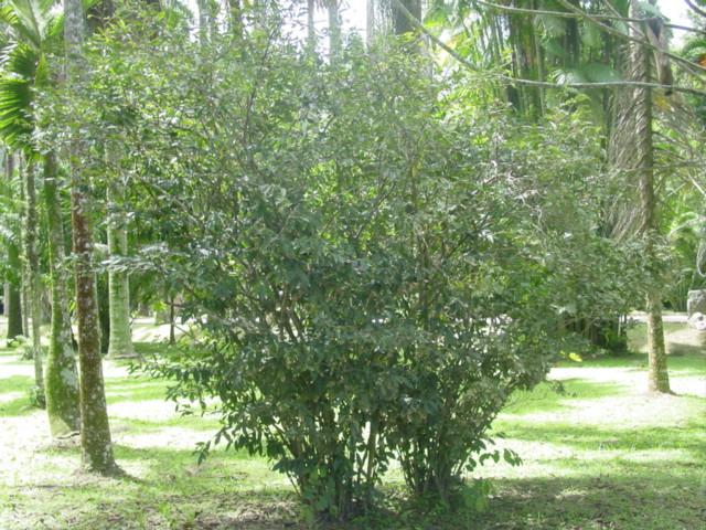 Ficheiro:Camellia sinensis-habito.jpg