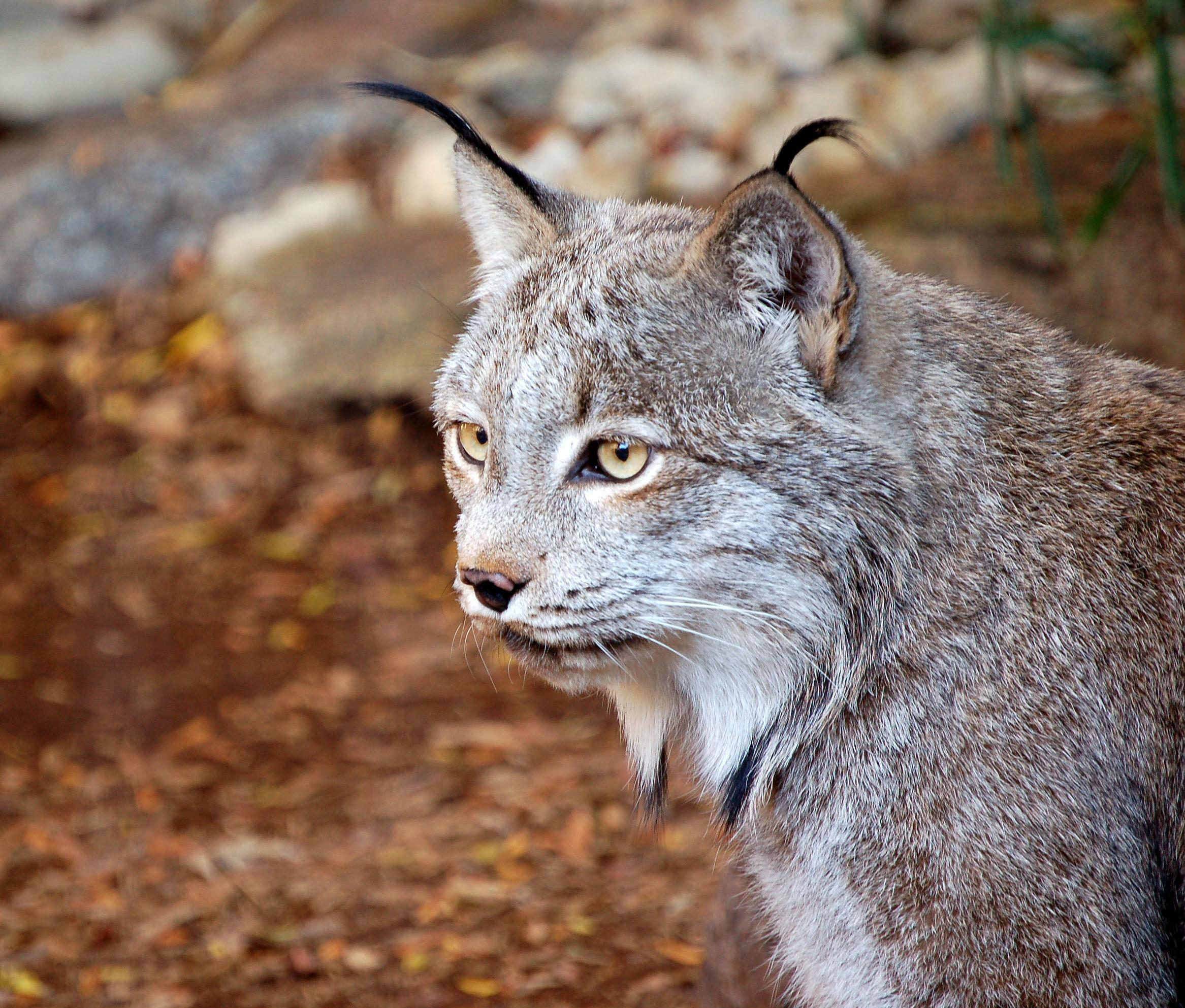 The Google Game Canadian_Lynx
