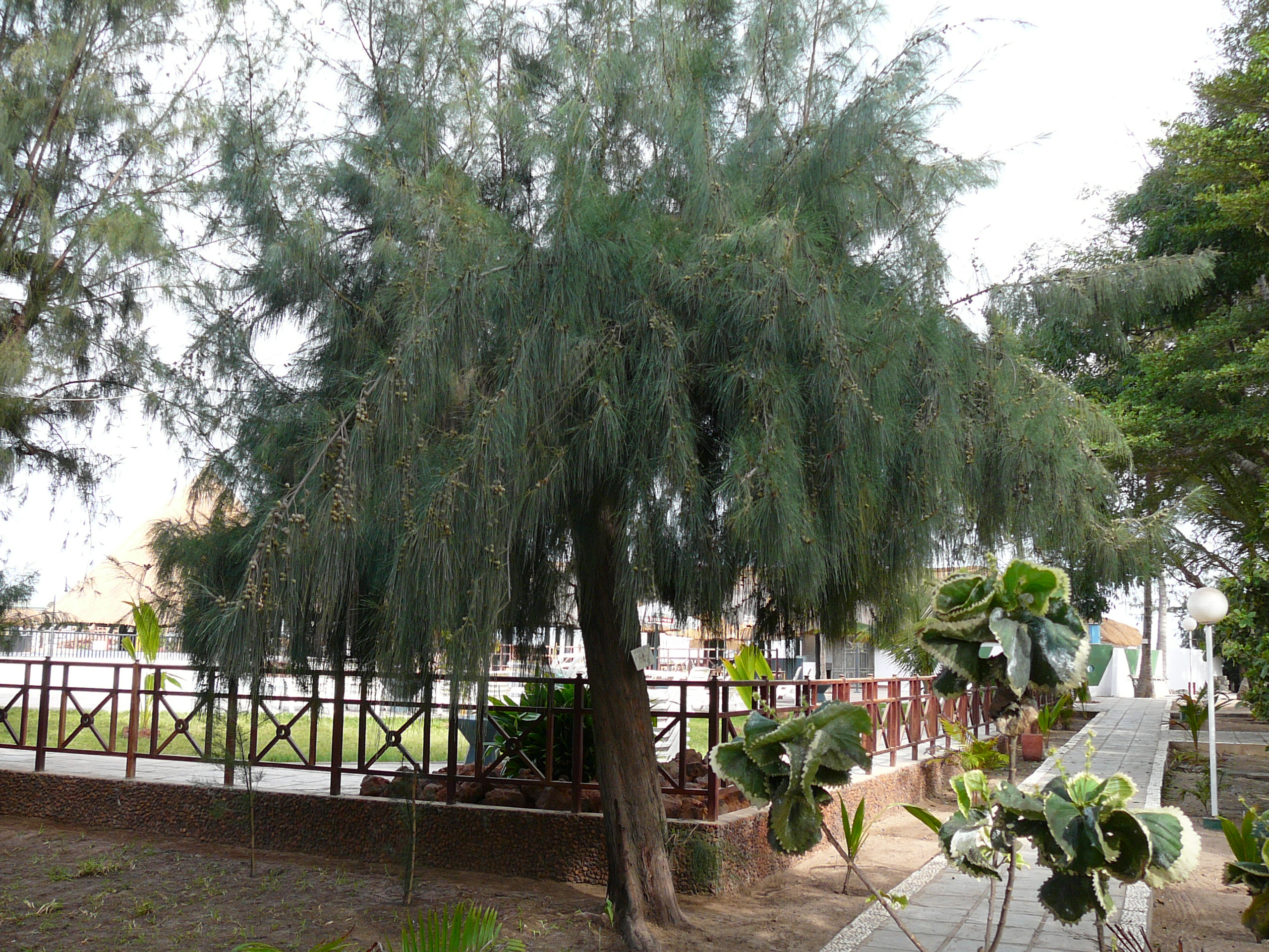critical appreciation of the poem casuarina tree Critical appreciation of the poem casuarina tree our casuarina tree our casuarina tree is a poem by toru dutt, an indian poetthe poem gives an objective description of the tree and the charm associated with poet's childhood.