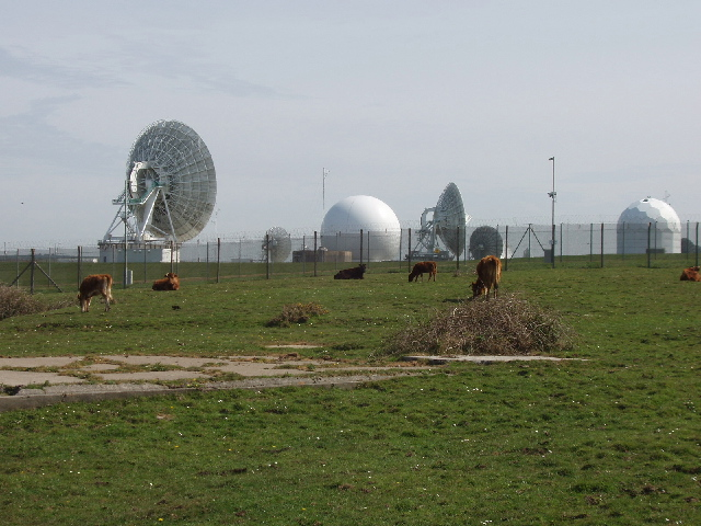 Cattle by GCHQ radio station - geograph.org.uk - 412255