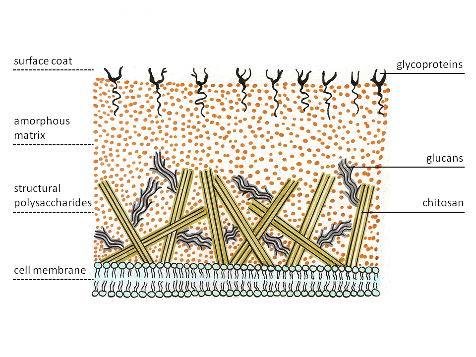 Cell wall structure of Fungi