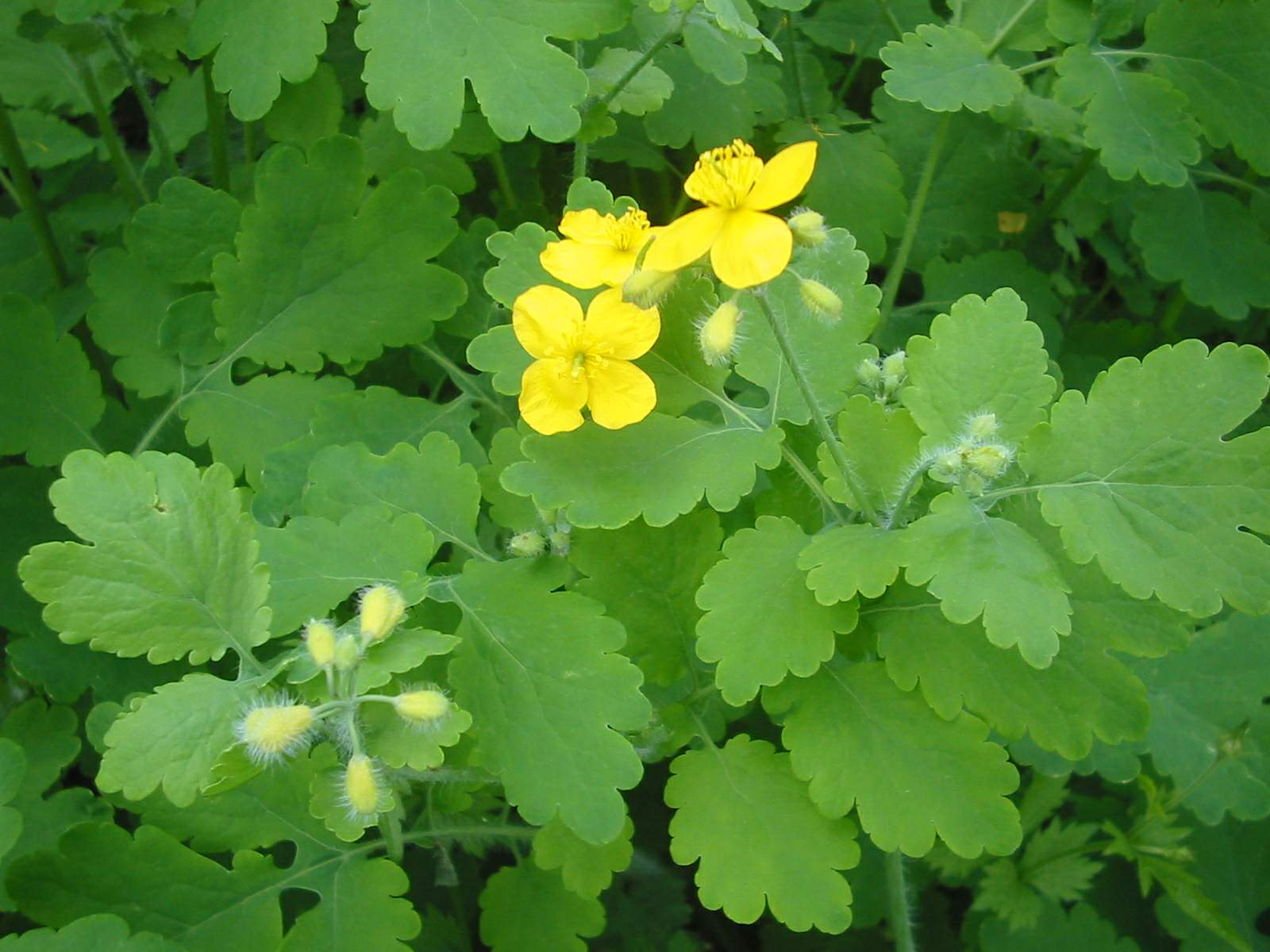 File:Chelidonium majus bgiu.jpg - Wikipedia, the free encyclopedia