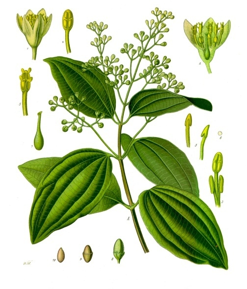 Cinnamomum verum, from Koehler's Medicinal-Plants (1887) - image from Wikipedia