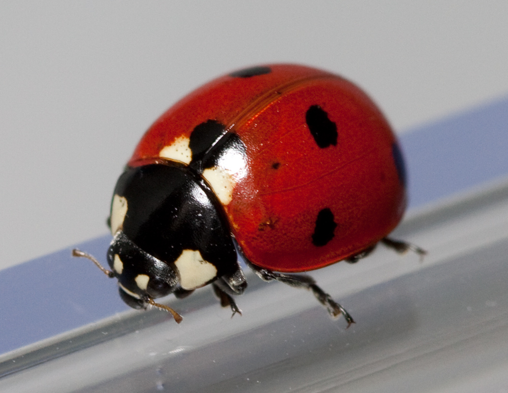 coccinellidae biquipedia a enciclopedia libre