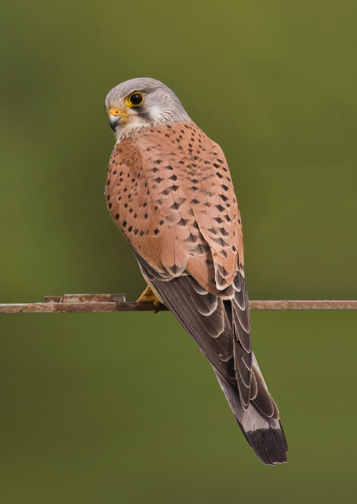 Image result for european kestrel perching