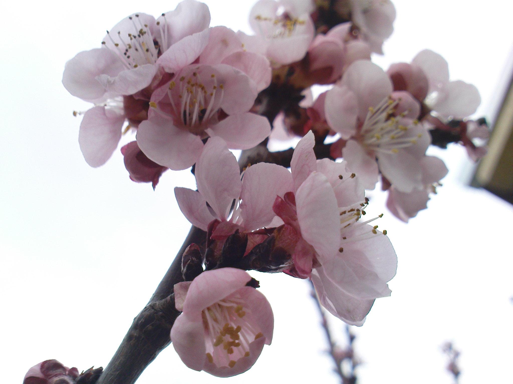 Cvetovi_kajsije.jpg