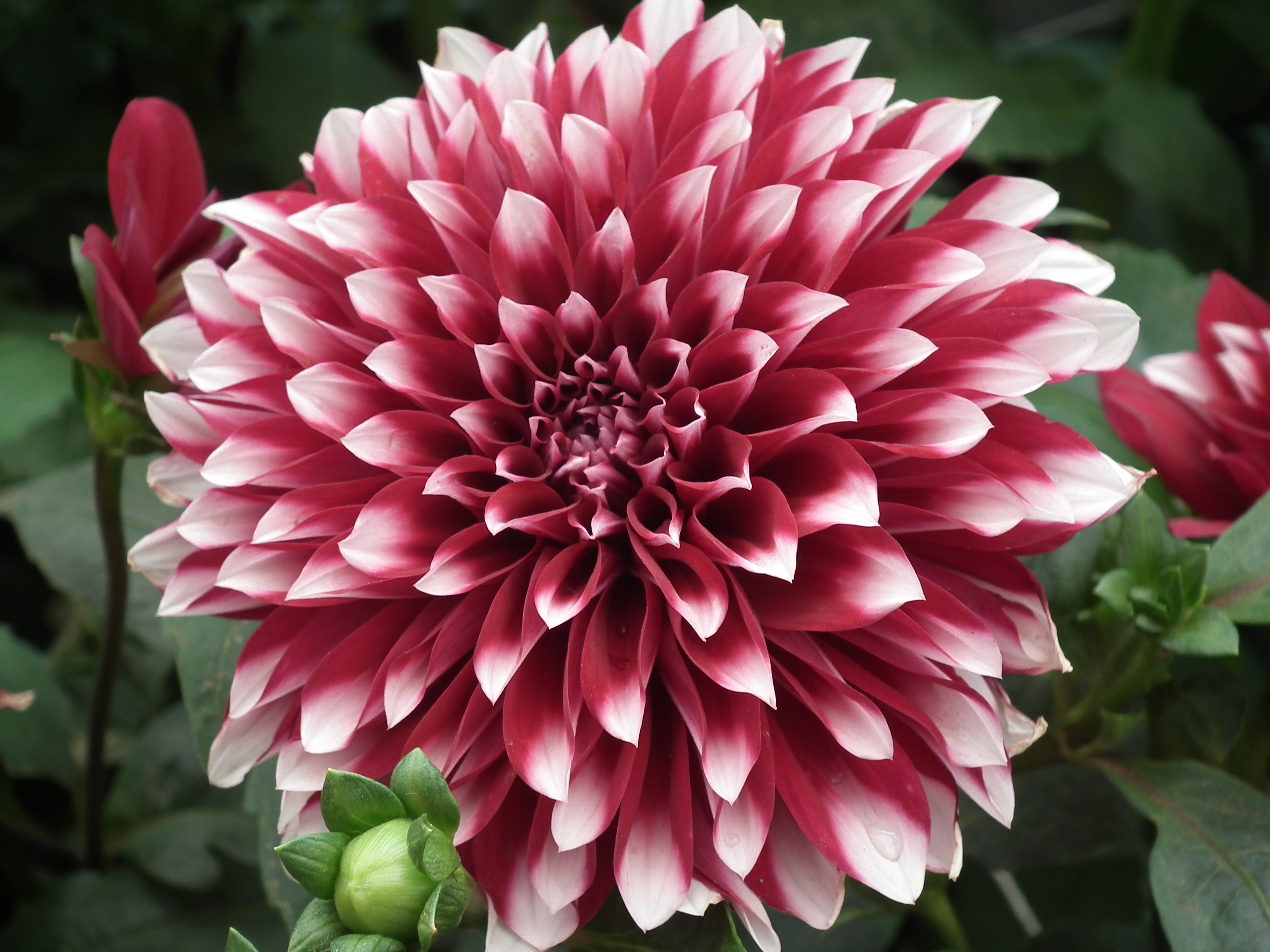 File Dahlia from Lalbagh Flower Show August 2012 4616 JPG Wikimedia mons