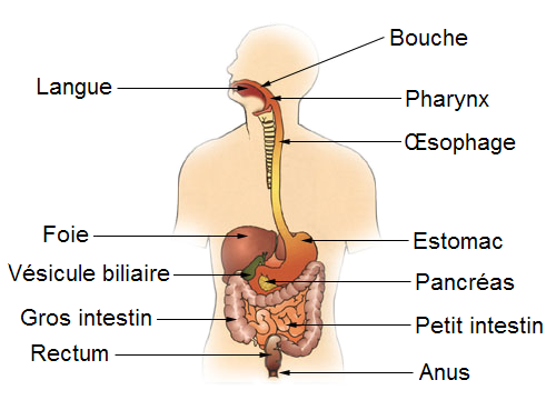File:Diagram of the digestive system-FR.png - Wikimedia Commons
