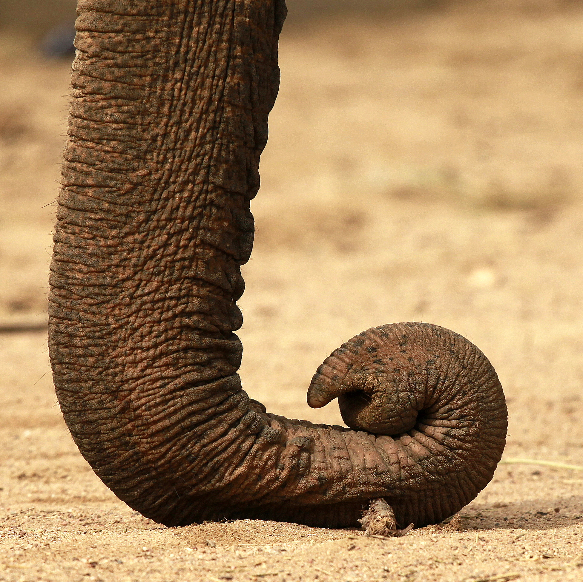 What for to an elephant a trunk