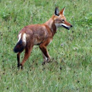File:EthiopianWolf1-2.jpg