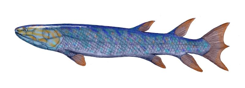 Eusthenopteron wikipedia la enciclopedia libre for How long is fish good for