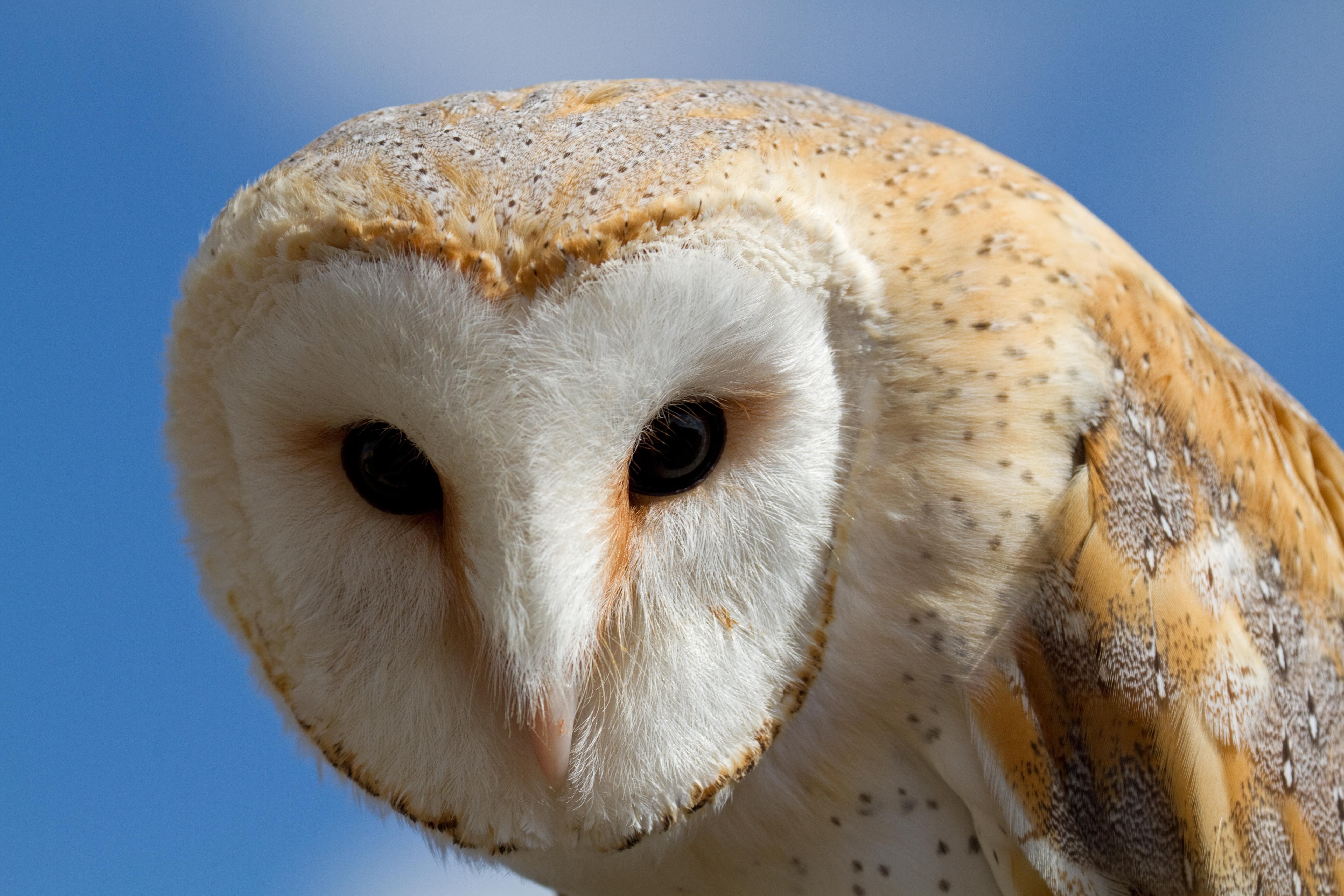 File:Female Barn Owl 3 (6796235244).jpg