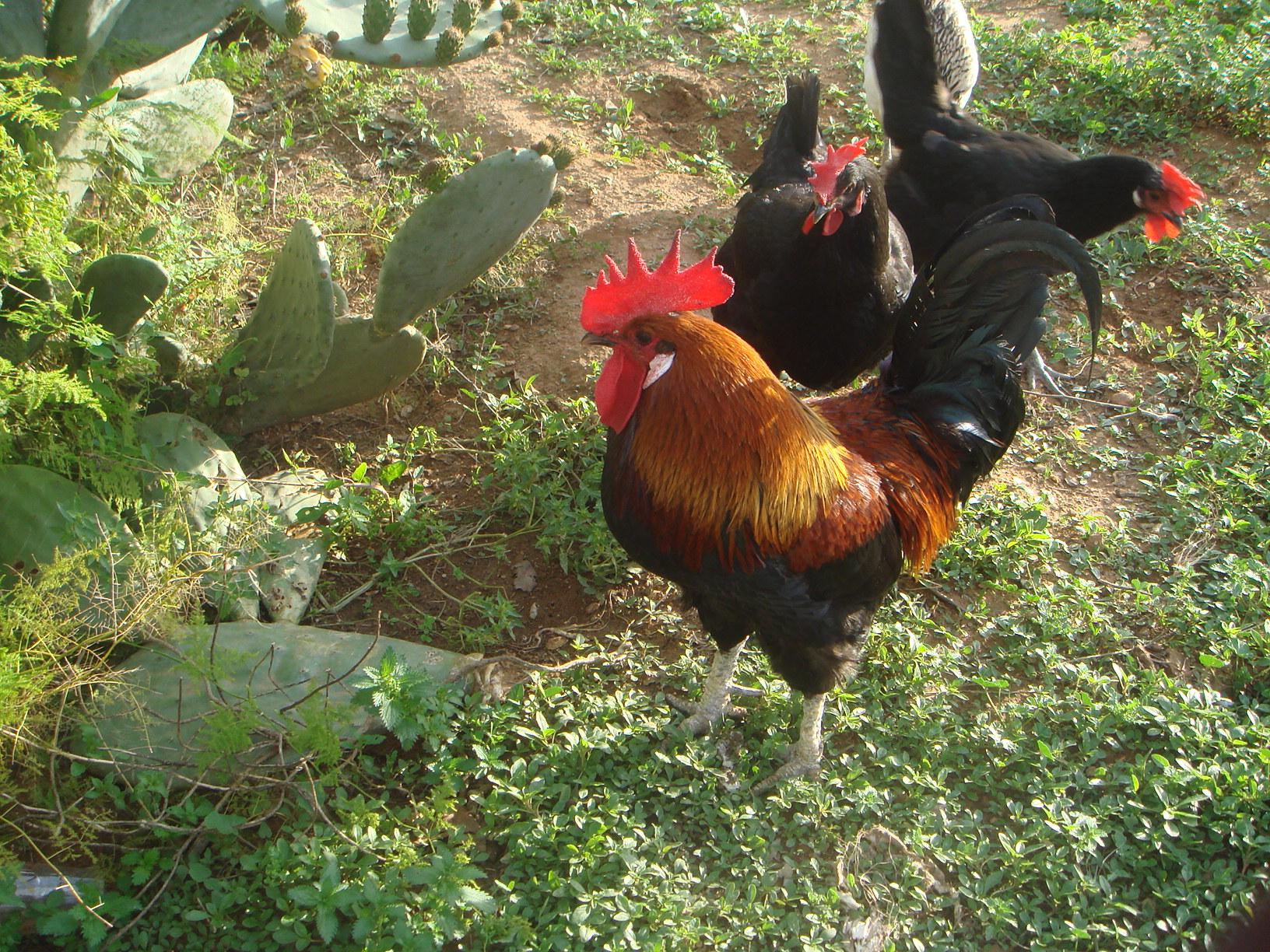 Remolcadores ébano Bigbooty de gallo blanco duro -