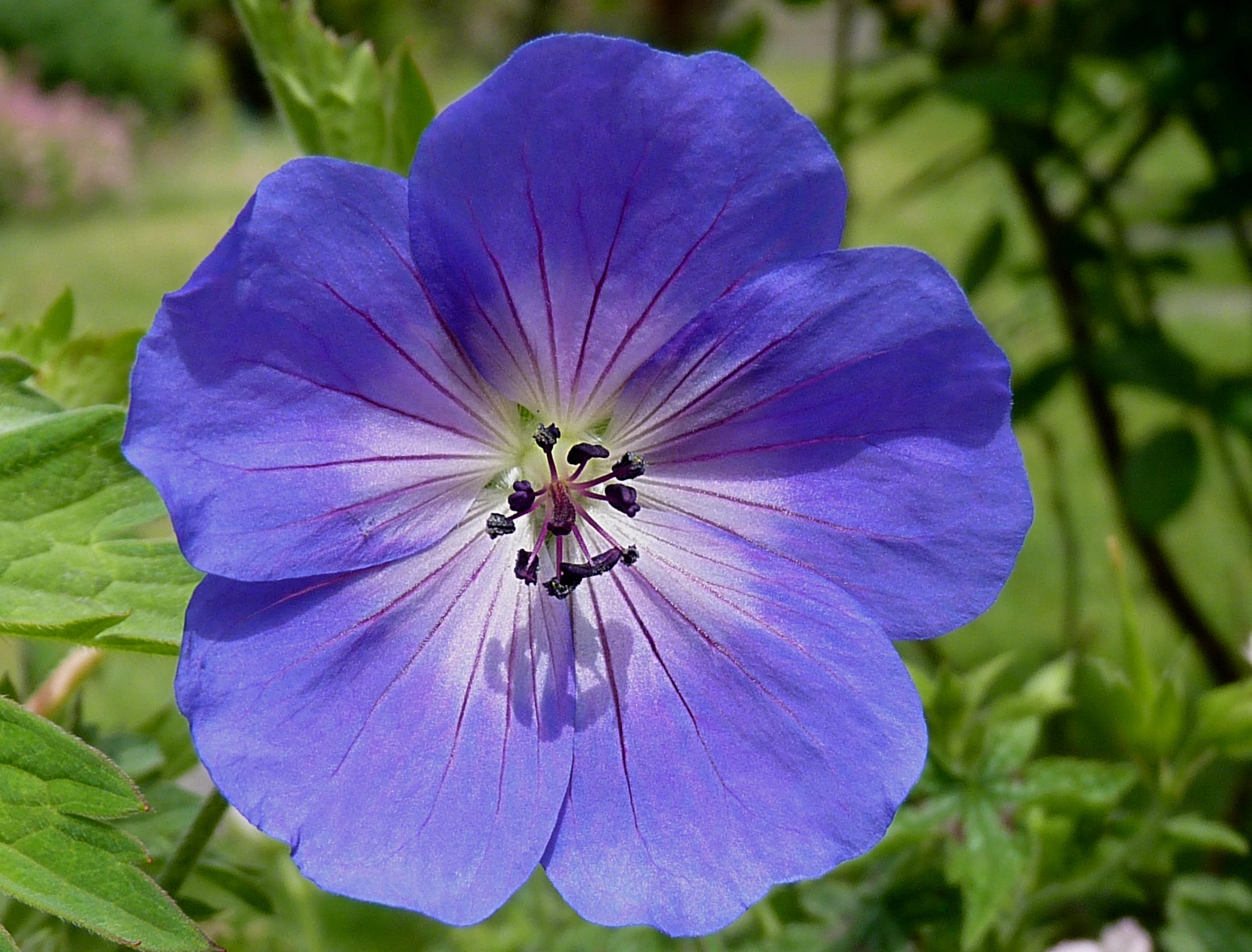 File:Geranium 'Rozanne' J1.jpg - Wikimedia Commons
