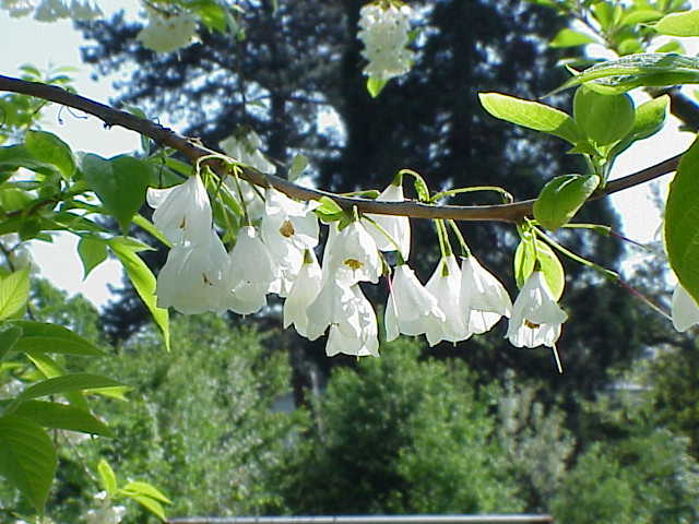 Halesia Carolina Wikipedia
